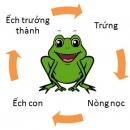 Hãy vẽ (hoặc viết) sơ đồ chu trình sinh sản của ếch