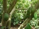 Em hãy tả một cây ăn quả đang trong mùa quả chín (mít, vải, na hoặc sầu riêng, vú sữa) bài làm 2