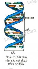 Quan sát hình 15 và trả lời các câu hỏi sau: Các loại nucleotit nào giữa 2 mạch liên kết với nhau thành cặp ?
