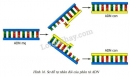 Quan sát hình 16 và trả lời các câu hỏi sau: Quá trình tự nhân đôi đã diễn ra trên mấy mạch của ADN?