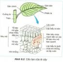 Quan sát hình 8.2, nêu đặc điểm phân bố và sắp xếp của các tế bào chứa diệp lục trong lá và cho biết điều đó có tác dụng gì đối với quang hợp?