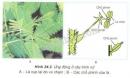 Quan sát hình 24.2 và cho biết hiện tượng gì xảy ra khi va chạm vào cây trinh nữ.