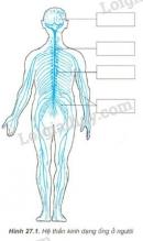Nghiên cứu hình 27. 1 sau đó điền tên các bộ phận của hệ thần kinh ống vào các ô hình chữ nhật trên sơ đồ.