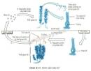Quan sát hình 41.1 và: Cho ví dụ về một số thực vật có hình thức sinh sản bào tử. Nêu con đường phát tán của bào tử.