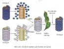 Em hãy giải thích tại sao virus phân lập được không phải là chủng B - trang 117