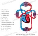 Mô tả đường đi của máu trong vòng tuần hoàn nhỏ và trong vòng tuần hoàn lớn.