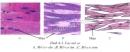 Quan sát hình 4-3 hãy cho biết: Hình dạng, cấu tạo tế bào cơ vân và tế bào cơ tim giống nhau và khác nhau ở những điểm nào? Tế bào cơ trơn có hình dạng và cấu tạo như thế nào?