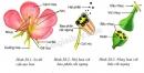 Các bộ phận của hoa: Đài, tràng, nhị, nhụy - trang 94