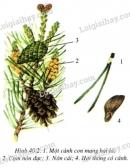 Quan sát và ghi lại các đặc điểm của cành, lá thông (H.40.2)