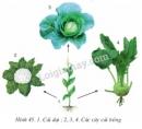 Nhìn hình H45.1, hãy nêu tên các cây cải trồng và cho biết bộ phận nào của chúng được sử dụng?