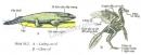 Trên hình 56.2A, hãy gạch chân 1 nét những đặc điểm của lưỡng cư cổ giống với cá vây chân cổ, gạch 2 gạch những đặc điểm lưỡng cư cổ giống lưỡng cư ngày nay.