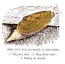 Quan sát hình 18.4 giải thích cơ chế giúp trai di chuyển được trong bùn theo chiều mũi tên?
