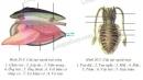 Quan sát hình 20.4,5 đối chiếu với mẫu vật để nhận biết các bộ phận và chú thích bằng số vào hình.