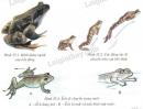 Hãy quan sát hình dạng, cấu tạo ngoài (hình 35.1) và cách di chuyển của ếch trong lồng nuôi. Thả ếch vào nước trong bể kính, hãy quan sát cách di chuyển trong nước của ếch (hình 35.3)