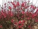 Tả cây hoa đào ngày tết hay và ý nghĩa nhất