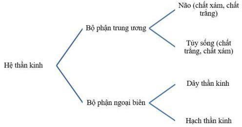 Kết quả hình ảnh cho Trình bày các bộ phận của hệ thần kinh và thành phần cấu tạo của chúng dưới hình thức sơ đồ.