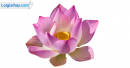 Viết đoạn văn tả hoa sen trong đầm