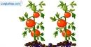 Viết đoạn văn tả cây cà chua