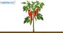 Viết đoạn văn tả cây ớt