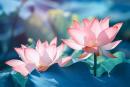 Thuyết minh về một loài hoa truyền thống của dân tộc Việt Nam (Hoa sen )