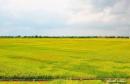 Tả cánh đồng lúa đang mùa gặt