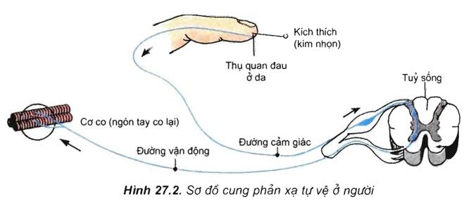 Lý thuyết Sinh học 11 Bài 27: Cảm ứng ở động vật (tiếp theo) | Lý thuyết Sinh học 11 đầy đủ, chi tiết nhất