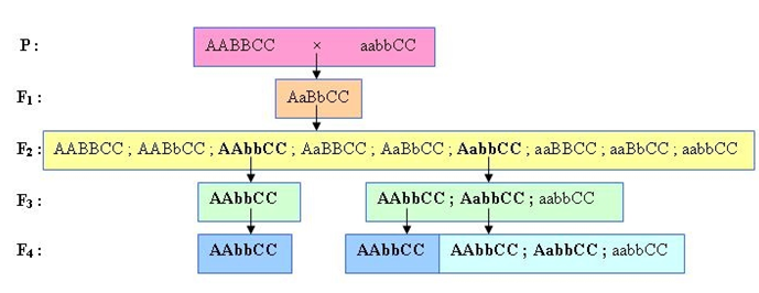 Lý thuyết Sinh học 12 Bài 18: Chọn giống vật nuôi và cây trồng dựa trên nguồn biến dị tổ hợp | Lý thuyết Sinh học 12 đầy đủ, chi tiết nhất